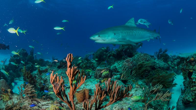 tigerhaie in aquarien